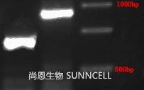SNCD-001结果检测
